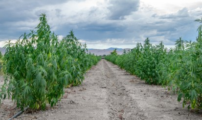 How much cbd oil is produced per acre of hemp?
