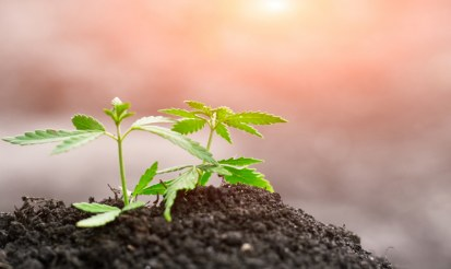Growing hemp how difficult is it?