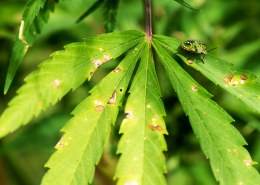 What kind of bugs eat hemp?