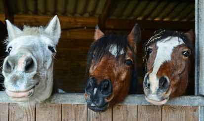 Can hemp bedding be used for horses and livestock feed?