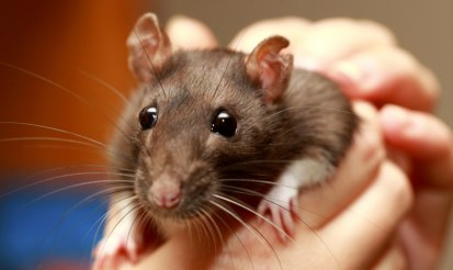 Is hemp bedding safe for rats?