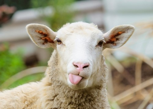 Can hemp be used as animal feed for livestock?