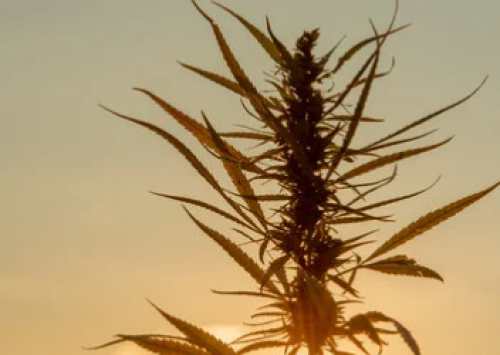 What is the origin of hemp,was it originated in Asia or the US, and cultivation?