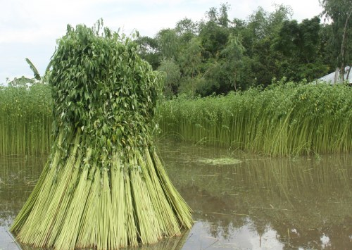What is the difference between jute and hemp?